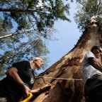 Joslyn van der Moolen and Nick Hopkins measure the girth of the known tallest spotted gum in the South Brooman State Forest in NSW. The area was burnt by bushfires last summer but it is still being logged. 15th October 2020 Photo: Janie Barrett
