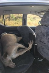 A kangaroo smashed through the windscreen of a ute at Jerrys Plains in November 2017.