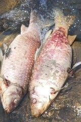 Fish at Dandenong Creek on November 7, 2017