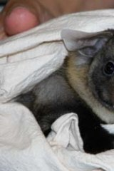 Crisis: The yellow-bellied gliders became extinct in Booderee National Park.