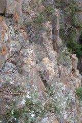 The rare flowering plant, the Snowy River Westringia growing in its natural habitat.