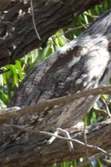 The tawny frogmouth brought doom to those who heard its call.