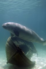 A dugong swims in the new Mermaid Lagoon display at the Sydney Aquarium.