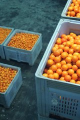 What is a farmer to do … too many oranges and not enough demand.