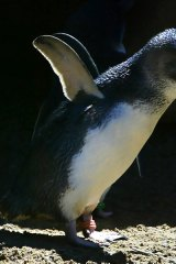 A little penguin fledgling dries its flippers in the sun at Taronga Zoo in this file photo.