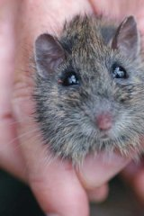 Low priority: Hastings River Mouse.