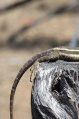A lizard suns itself in the Bimblebox Nature Refuge.