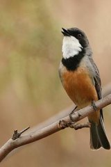 """Winging it back """"home"""" ... a rufous whistler."""