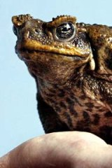 A poisonous cane toad.
