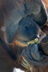 Dr Ian Singleton is at Melbourne Zoo to raise awareness about the threat to wild orang-utan population.