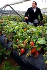 Strawberry farmer Joe Pignataro.