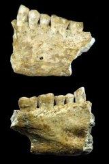 The jaw bones discovered in Slovenia.