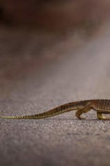 A lizard crosses the highway on the way into Windorah in far Western Queensland.