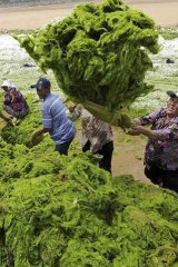 Algal power ... workers remove algae from the Jinshatan beach on the Yellow Island in Qingdao.