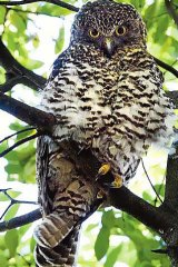 The powerful owl, top of the woodland food chain and dweller of the ecosystem.