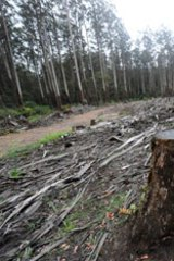 A clear-felled Leadbeater possum habitat in Victoria's central highlands.