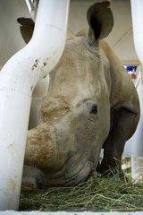 Cagey.... Kifaru the white rhino.