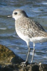 A grey plover scouts for food.