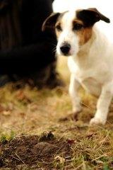 Spot, aka dog 3, truffle hunting with Damian Robinson.