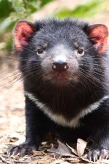 Threatened ... the Tasmanian devil.