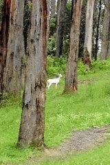 The albino fallow deer on the side of Terrys Avenue in Belgrave.