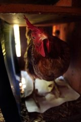 'Free to roam' chickens produced by La Ionica get space as big as an A4 piece of paper, the Federal Court has heard.