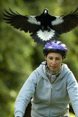 Feathered fury ... a cyclist being strafed by a magpie.