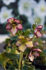 A hellebore at the Post Office Farm Nursery.