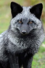 Exotic import: The silver fox.