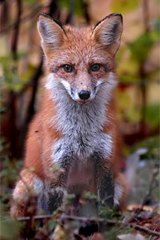 Survival specialist: The non-native urban fox.