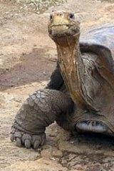 Frozen ... Lonesome George, the last giant tortoise of Pinta Island.