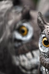 Plastic owls are being use to scare away possums.
