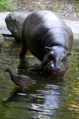 Pygmy hippo Petre.