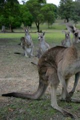 Since 2000, almost 35 million kangaroos have been 'harvested' in Australia's four other mainland states.