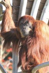 Puan the orang-utan at Perth Zoo