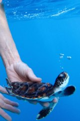 A Lord Howe Island Marine Park ranger releases a green turtle from Taronga Zoo.