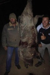 Wild: Raiders prop Shannon Boyd gives the thumbs-up next to a 132kg feral pig.