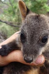 From a wild population of 10, Victoria's critically endangered brush-tailed rock wallaby is  clawing its way back from the brink of extinction.