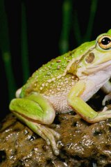 The growling grass frog.