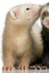 The flu virus was transmissible in ferrets.