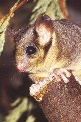 At risk: Leadbeater's possum.