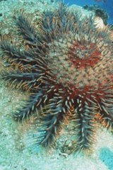 A crown of thorns starfish.