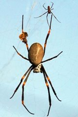 Fat and contented … the golden orb weaver.