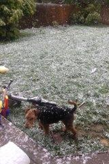 Snow falls on a dog in a backyard near Ballarat.