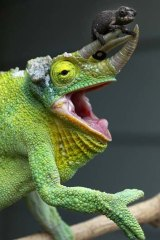 An adult Jackson's Chameleon with a baby not yet old enough to change its colouring.