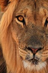 The Brisbane Lions chief executive Greg Swann plans to attract crowds with a live lion.