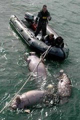 The navy works to free the dugong.