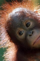 Bleak future: Sumatran orang-utans are critically endangered.
