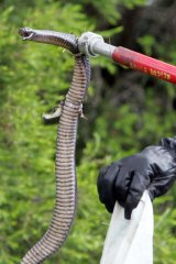 Police remove a red-bellied black snake from a Wollongong house.