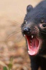 The Tasmanian devil, also endangered, needs human help to survive.